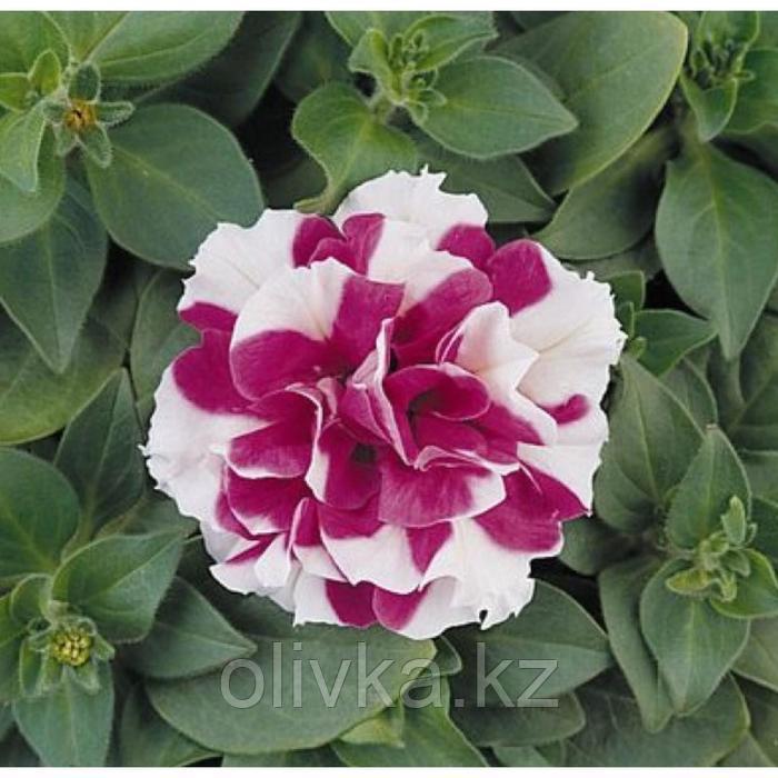 Семена цветов Петуния махровая многоцветковая Дуо Роуз Вайт 1000 шт