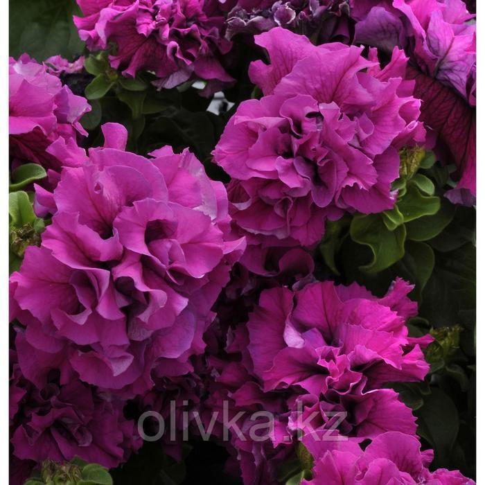 Семена цветов Петуния махровая крупноцветковая Дабл Каскад Бургунди 1000 шт