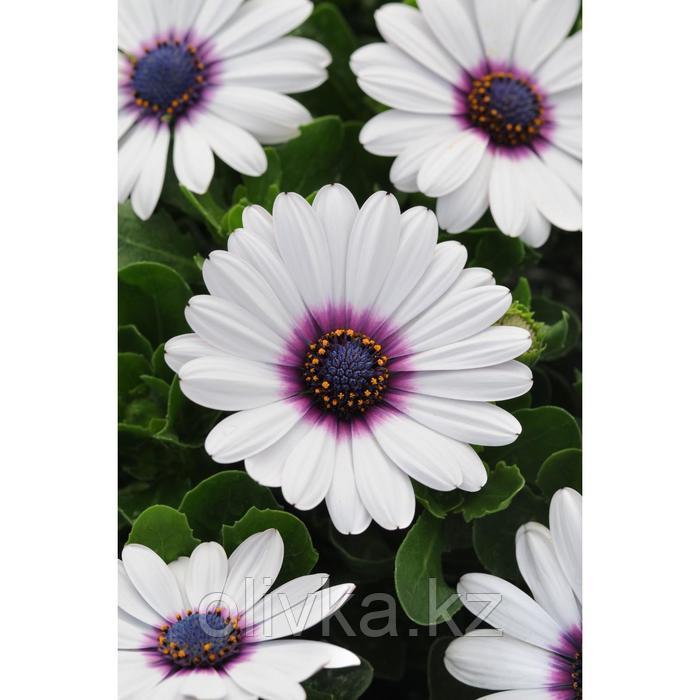 Семена цветов Остеоспермум Акила Вайт Пурпл Ай 100 шт