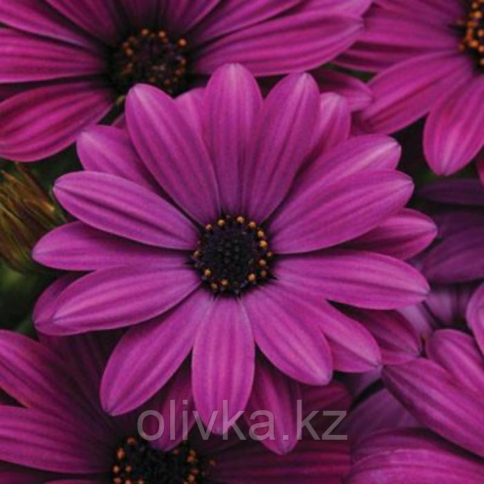 Семена цветов Остеоспермум Акила Пурпл 100 шт