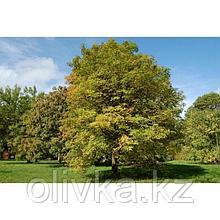 Саженец Ясень, Р9 горшок, высота 40-60 см