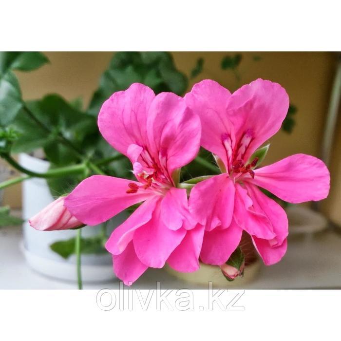 Семена цветов Пеларгония плющелистная Рич Аут Лайт Пурпл 100 шт