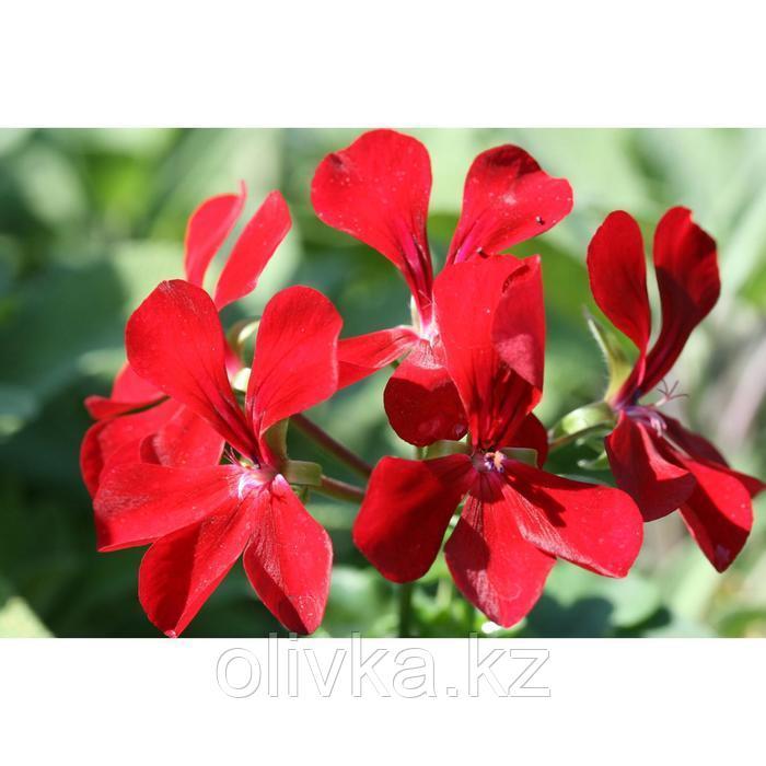 Семена цветов Пеларгония плющелистная Рич Аут Ред 100 шт