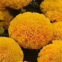 Семена цветов Бархатцы прямостоячие Марвел Голд 1000 шт