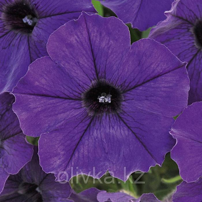 Семена цветов Петуния ампельная крупноцветковая Нивола Блю 1000 шт