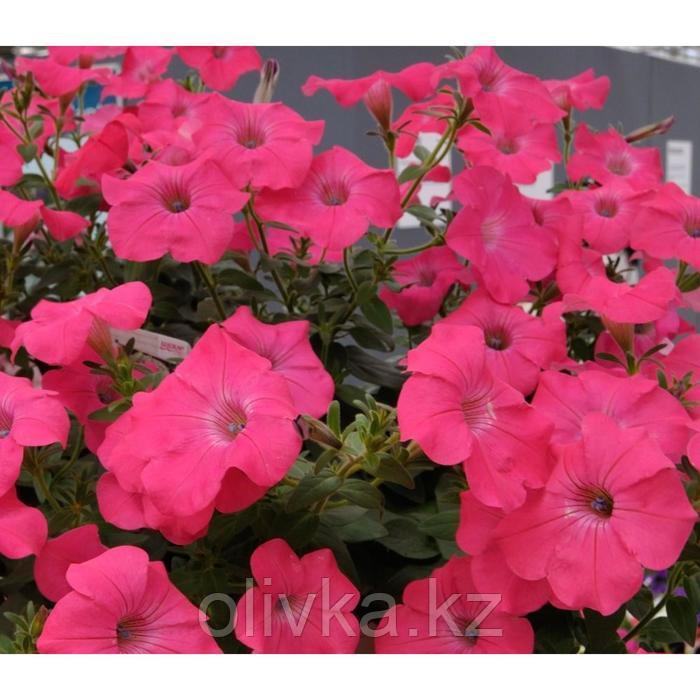 Семена цветов Петуния ампельная многоцветковая Нуволари Дип Роуз 1000 шт