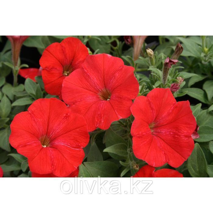 Семена цветов Петуния ампельная многоцветковая Нуволари Ред 1000 шт
