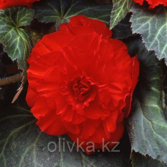 Семена цветов Бегония Америгибрид Раффлд Скарлет Ред 500 шт