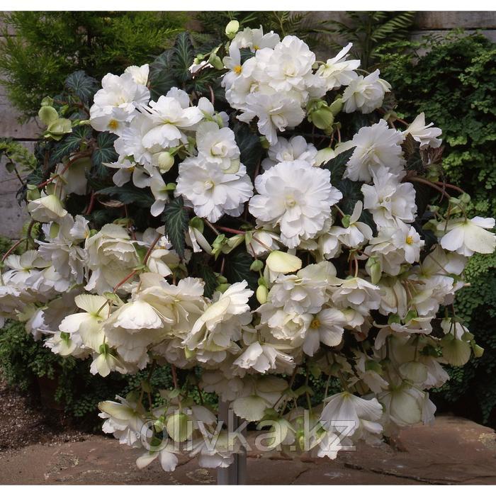 Семена цветов Бегония Сан Дансер Вайт 500 шт