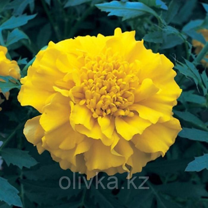 Семена цветов Бархатцы триплоидные Зенит Лемон Еллоу 1000 шт
