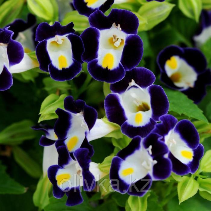 Семена цветов Торения Каваи Дип Блю 1000 шт
