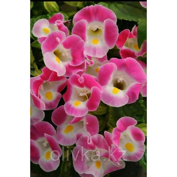 Семена цветов Торения Каваи Роуз 1000 шт