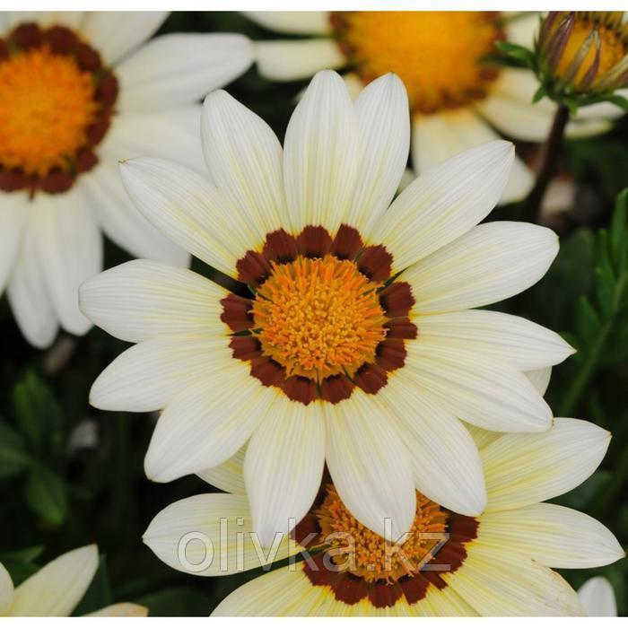 Семена цветов Гацания Нью Дей Вайт 1000 шт