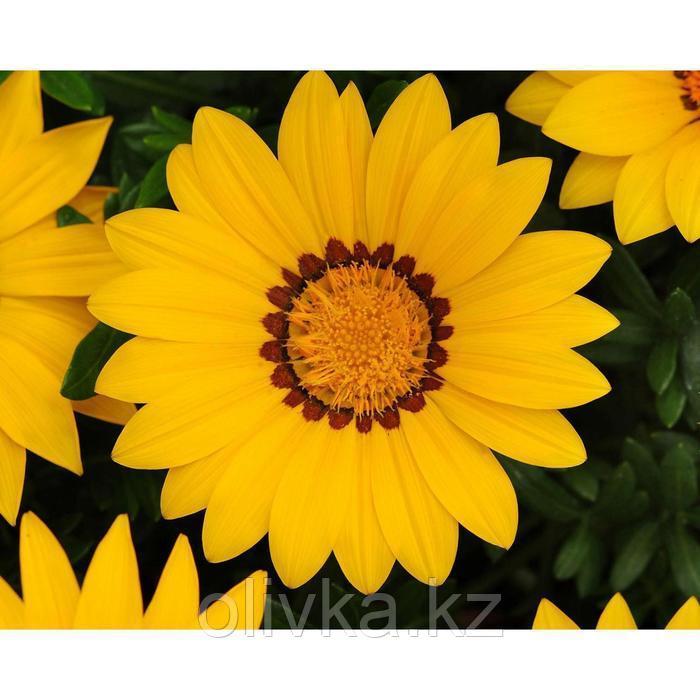 Семена цветов Гацания Нью Дей Еллоу 1000 шт