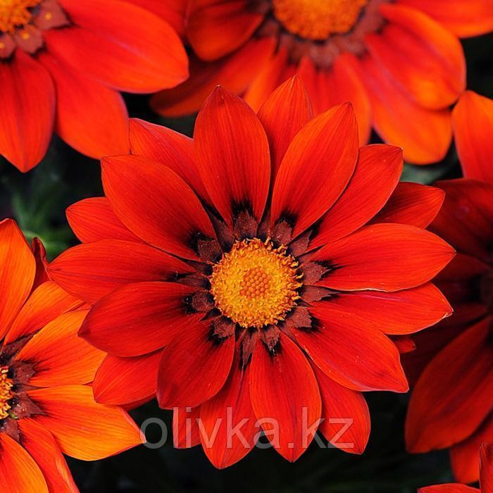 Семена цветов Гацания Нью Дей Ред Шейдс 1000 шт
