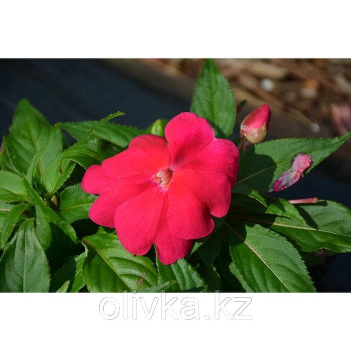 Семена цветов Бальзамин Хокера Дивайн Липстик 1000 шт
