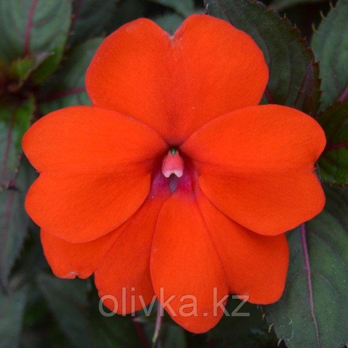 Семена цветов Бальзамин Хокера Дивайн Оранж 1000 шт