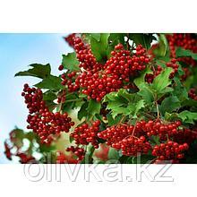 Саженец Калина красная, С3 горшок, высота 40-60 см
