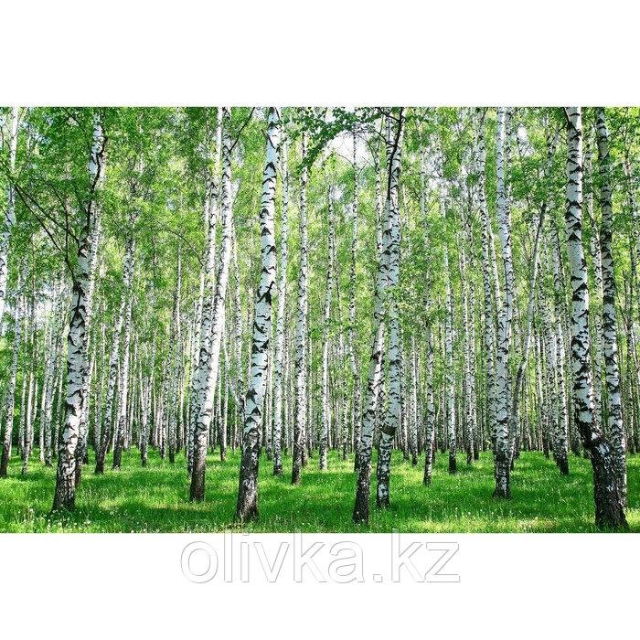 Фотобаннер, 250 × 200 см, с фотопечатью, люверсы шаг 1 м, с люверсами, «Берёзовая роща»