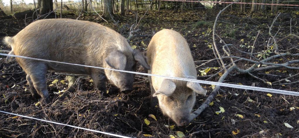 Электроизгородь для свиней, фото 2
