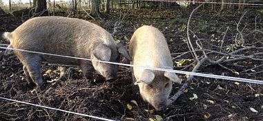 Электроизгородь для свиней