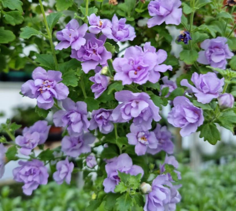 Бакопа Scopia Double Lavender
