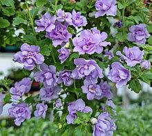 Бакопа Scopia Double Lavender / подрощенное растение