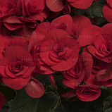 Бегония элатиор Baladin молодое растение с цветами, фото 2
