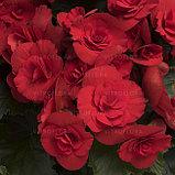 Бегония элатиор Barkos  молодое растение с цветами, фото 2
