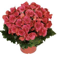 Бегония элатиор Berseba молодое растение с цветами