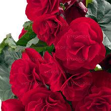 Бегония элатиор Carmen молодое растение с цветами