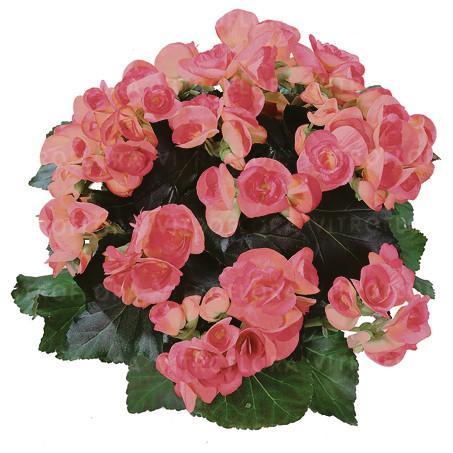Бегония элатиор Netja Dark  молодое растение с цветами
