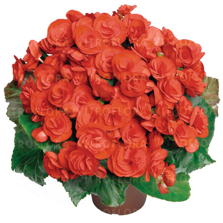Бегония элатиор Veronica молодое растение с цветами