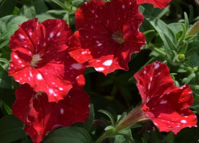 Famous Red White Spots 066 №566/ укор.черенок