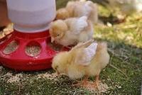 Комбикорм для цыплят Старт