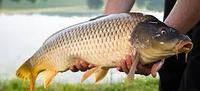 Комбикорм для рыбы (карповых)