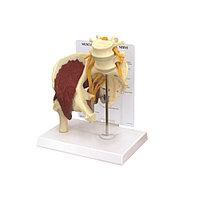 Модели мышц тазобедренного седалищного нерва ME