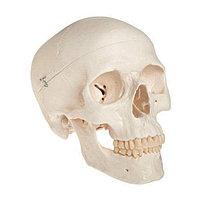 Пластиковая модель черепа взрослого человека из ПВХ для учебных материалов ME