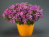 Петуния вегетативная Amore™ Joy подрощенное растение, фото 2