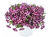 Петуния вегетативная Amore™ Joy подрощенное растение, фото 3