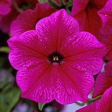 Ампельная петуния Fanfare Hot Rose молодое растение в кашпо