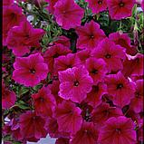 Ампельная петуния Fanfare Hot Rose, фото 3