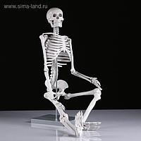 """Макет """"Скелет человека"""" 85см"""