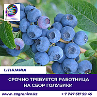 Требуется сборщица ягоды/Литва