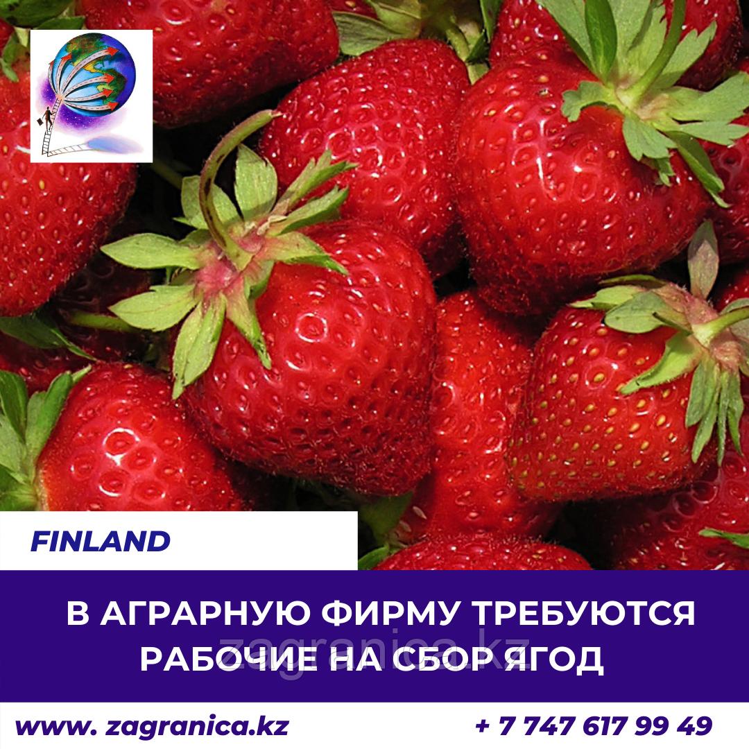 Требуются рабочие на сбор ягод/Финляндия