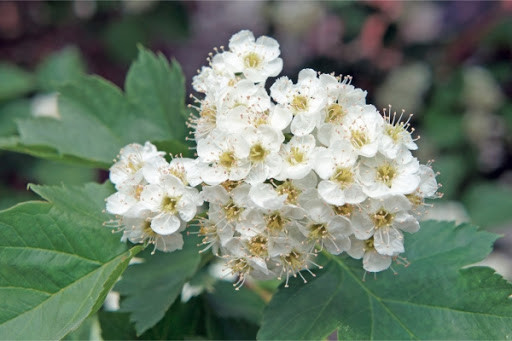 Боярышника 50 г цветки  Белла