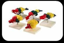 Noname Набор моделей «Мозг позвоночных» (рыбы, земноводного, пресмыкающегося, птицы, млекопитающего) арт.