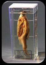 Noname Влажный препарат «Внутреннее строение рыбы» арт. Ed17650