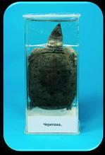Noname Влажный препарат «Черепаха» арт. Ed17655