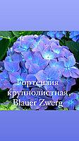 Гортензия крупнолистная Blauer Zwerg